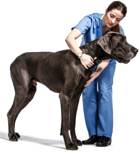 Great Dane Taz-2216-2_noStethoscope