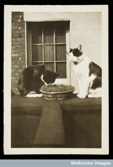Henry Wellcome's cat, Pip, with one of her kittens.