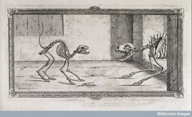 The skeletal structure of a cat shown in fright and a dog in attack mode. Osteographia by William Cheselden, 1733.