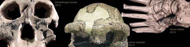via efossils.org  http://www.efossils.org/site/olduvai
