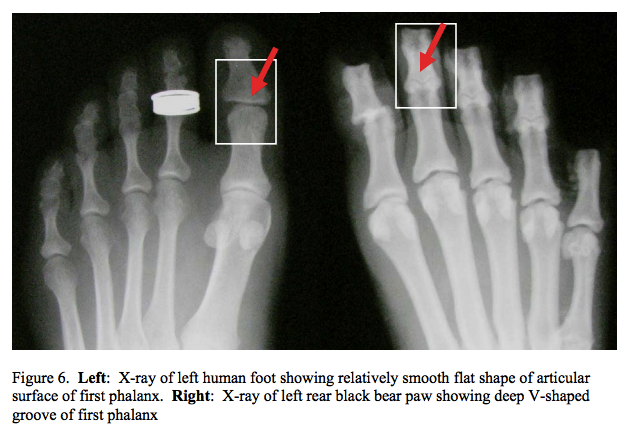 Image via Sims, M.E. 2007. Comparison of Black Bear Paws to Human Hands and Feet. Identification Guides for Wildlife Law Enforcement No. 11. USFWS, National Fish and Wildlife Forensics Laboratory, Ashland, OR.