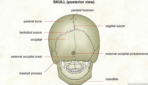 016 Skull (posterior view).jpg