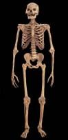 Fortune's articulated skeleton Image via Mattatuck Historical Society.